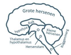 hersenschors in het brein