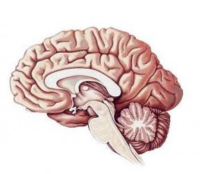 frontale cortex afbeelding